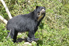 Andean bear Royalty Free Stock Photos