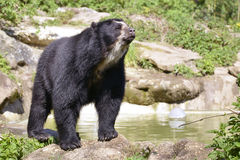 Andean bear. (Tremarctos ornatus) standing near pond, also known as the spectacled bear Royalty Free Stock Photography
