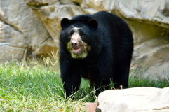 Andean Bear. Tremarctos ornatus standing by rocks Stock Photos