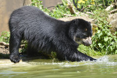 Andean bear in water Stock Images