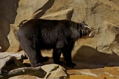 Andean Bear Royalty Free Stock Image