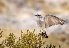 Andean bird - Muscisaxicola albifrons Royalty Free Stock Photography
