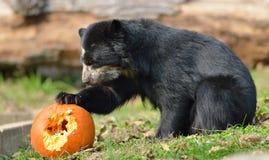 Andean björn Arkivfoto