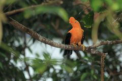 Andean cock-of-the-rock. Perching on the branch Stock Images