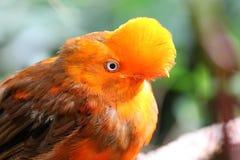 Andean cock-of-the-rock bird Rupicola rupicola peruvianus Royalty Free Stock Images