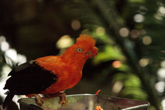 Andean Cock-of-the-rock called Rupicola peruvianus. Is found in the tropical evergreen forests in South America Stock Image