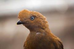 Andean cock-of-the-rock Rupicola peruvianus Stock Image