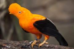 Andean cock-of-the-rock Rupicola peruvianus Royalty Free Stock Image