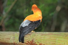 Andean cock-of-the-rock. Sitting on the wood Royalty Free Stock Image