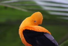 Andean of the Rock Tropical Bird Stock Image