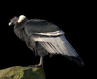 Andean Condor Stock Photos