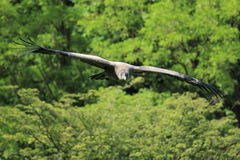 Andean condor Royalty Free Stock Photography