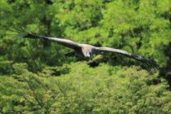 andean condor Royaltyfri Fotografi