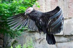 andean condor Arkivbilder