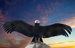 Andean condor. On rock against sunset sky background royalty free stock photography