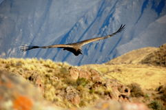 Andean Condor Royalty Free Stock Images