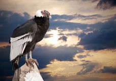 Andean condor against  sky background Royalty Free Stock Images