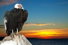 Andean condor against sunset Stock Images