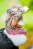 Andean Condor Beak Royalty Free Stock Photography