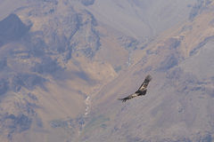 Andean Condor - Chile Royalty Free Stock Photography
