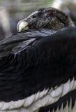 Andean Condor Stock Photography