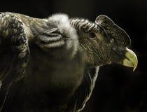 Andean Condor Royalty Free Stock Photos