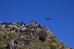 Andean Condor in the Colca Canyon Royalty Free Stock Photos