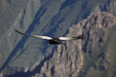 Andean Condor in the Colca Canyon Royalty Free Stock Photos