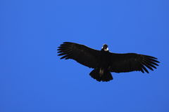 Andean Condor in the Colca Canyon Stock Photo