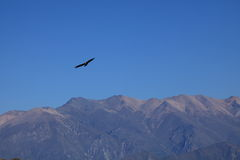 Andean Condor in the Colca Canyon Royalty Free Stock Photo
