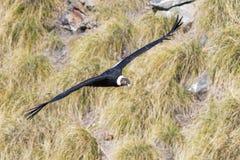 Andean Condor. In flight over the mountain Stock Photos
