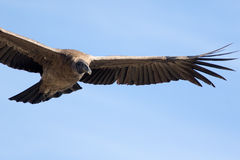 Andean Condor. In flight over the mountain Stock Image