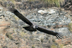 Andean Condor. In flight over the mountain Royalty Free Stock Image