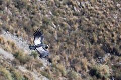 Andean Condor. In flight over the mountain Stock Photo