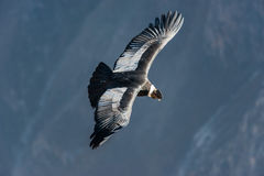 Andean condor flying in the Colca Canyon Arequipa Peru Royalty Free Stock Images
