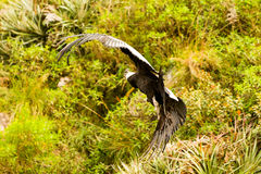 Andean Condor Flying Stock Image