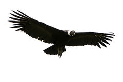 Andean Condor Isolated Stock Photo