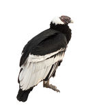 Andean condor.  Isolated over white Stock Images