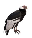 Andean condor. Isolated over white background royalty free stock photos