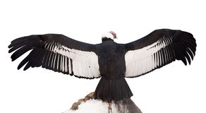 Andean condor. Isolerat över white Royaltyfri Fotografi