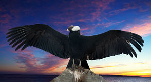 Andean condor mot solnedgångskyen Arkivfoton