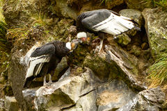 Andean Condor Pair royalty free stock photography