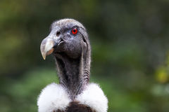 Andean Condor. A portrait of an Andean Condor Stock Photo