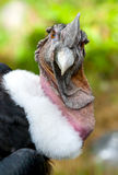 Andean Condor Portrait Royalty Free Stock Photos