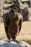 Andean Condor in Sacsayhuaman. Condor standing on a rock, view of Sacsayhuaman ruins in Cuzco, Peru in the background Royalty Free Stock Photos
