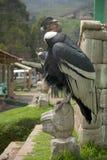 Andean Condor. Sits atop a puma head Inca symbology Stock Photography