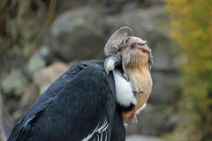 Andean condor sitting Stock Photos