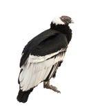 andean condor som isoleras över white Arkivbilder
