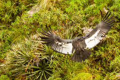 Andean Condor Take Off stock photos