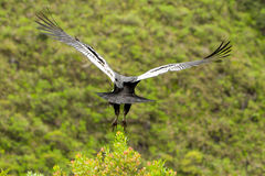 Andean Condor Takeoff royalty free stock photography